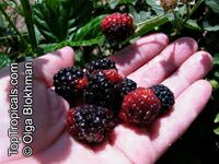 Rubus fruticosus , Blackberry, Dewberry 