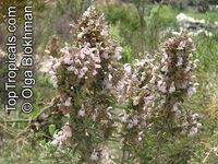 Salvia dolomitica, South African Sage  Click to see full-size image