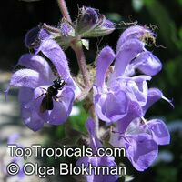 Salvia sp., Garden Sage