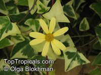 Senecio macroglossus, Flowering Ivy, Cape Ivy, Natal Ivy, Wax Vine  Click to see full-size image