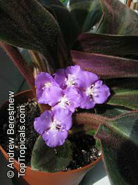 Siderasis fuscata, Brown Spiderwort, Bears Ears  Click to see full-size image