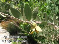 Simmondsia chinensis, Jojoba - seeds