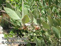 Simmondsia chinensis, Jojoba, Goatnut  Click to see full-size image