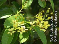 Tristellateia australasiae, Shower of gold climber, Vining Galphimia, Vining Milkweed  Click to see full-size image