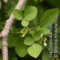 Desmodium umbellatum, Dendrolobium umbellatum, Horse Bush, Petai Laut  Click to see full-size image