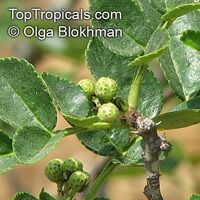 Zanthoxylum americanum, American Prickly Ash, Toothache Tree