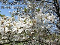 Magnolia kobus, Kobushi Magnolia  Click to see full-size image