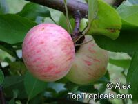 Malus x domestica, Low Chill Apple  Click to see full-size image