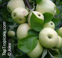 Malus domestica - Dorsett Golden Low Chill Apple, Low chill, Grafted  Click to see full-size image