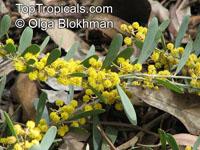 Acacia redolens, Trailing Acacia, Bank Catclaw  Click to see full-size image
