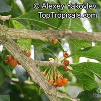 Acnistus arborescens, Hollowheart, Wild Tabbaco