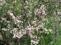Prunus webbii, Amygdalus webbii, Wild Almond tree   Click to see full-size image
