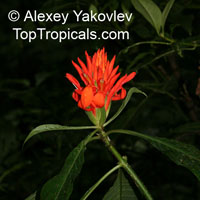 Aphelandra aurantiaca, Fiery Spike  Click to see full-size image