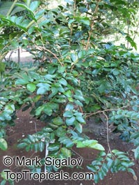 Aphloia theiformis, Albino Berry, Mountain PeachClick to see full-size image