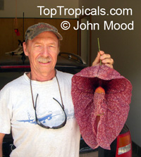 Aristolochia gigantea var. Brasiliensis - Giant Pelican Flower  Click to see full-size image