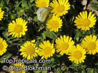 Asteriscus maritimus, Gold Coin, Mediterranean Beach Daisy  Click to see full-size image
