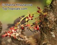 Averrhoa bilimbi, Bilimbi, Cucumber Tree, Tree Sorrel, Kamias, Belimbing Asam, Belimbing BulohClick to see full-size image