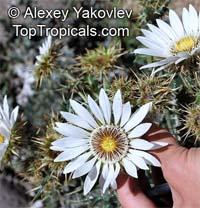 Berkheya cirsiifolia, Mohata-o-mosoueu  Click to see full-size image