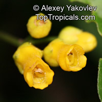 Besleria sp., Besleria  Click to see full-size image