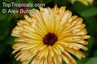 Calendula officinalis, Pot Marigold, Scotch MarigoldClick to see full-size image