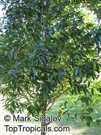 Calophyllum eputamen, TatamakaClick to see full-size image