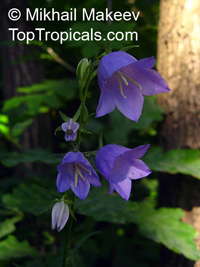 Campanula sp., Bellflower