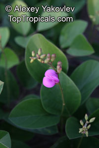 Canavalia sp., Magic Bean, Kaattuthambattan, Beach Bean, Seaside Bean, JackbeanClick to see full-size image