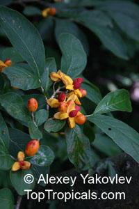 Casearia corymbosa, Casearia  Click to see full-size image