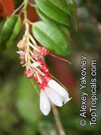 Cavendishia melastomoides, Cavendishia  Click to see full-size image