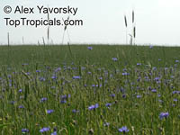 Centaurea cyanus , Cornflower, Bachelor's Button, Bluebottle, Boutonniere Flower, Hurtsickle  Click to see full-size image