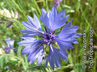 Centaurea cyanus , Cornflower, Bachelor's Button, Bluebottle, Boutonniere Flower, Hurtsickle  Click to see full-size image