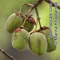 Cochlospermum religiosum, Cochlospermum gossypium , Silk Cottontree   Click to see full-size image