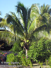 Cocos nucifera - Green Malayan Dwarf Coconut Palm