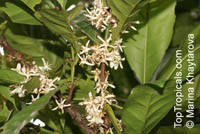 Coffea dewevrei, Coffea liberica var. dewevrei, Coffea excelsa , Excelsa Coffee  Click to see full-size image
