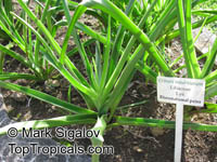 Crinum sp., River LilyClick to see full-size image