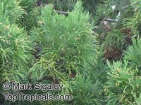 Cryptomeria japonica, Japanese Cryptomeria, Japanese Cedar, Sugi  Click to see full-size image