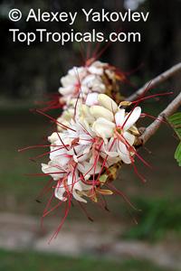 Elizabetha durissima, Elizabetha  Click to see full-size image