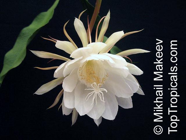 Epiphyllum oxypetalum belle de nuit lady of the night - Belle de nuit plante ...