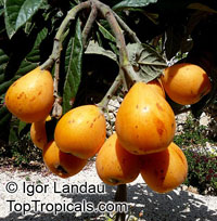 Eriobotrya japonica - Loquat Champagne, grafted  Click to see full-size image