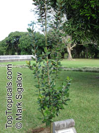 Eugenia tinifolia, Bois de Clous  Click to see full-size image