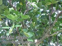 Gastonia mauritiana, Bois Boeuf, Bois d'Eponge  Click to see full-size image