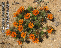 Gorteria diffusa, Beetle Daisy  Click to see full-size image