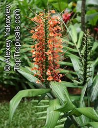 Hedychium coccineum , Himalayan Ginger Lily, Orange Bottlebrush Ginger, Red Butterfly Ginger   Click to see full-size image