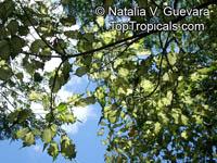 Hibiscus tiliaceus, Talipariti tiliaceum, MahoeClick to see full-size image