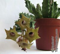 Huernia sp., HuerniaClick to see full-size image