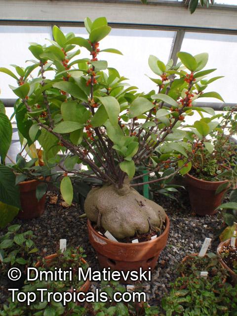 Garden Bush: Hydnophytum Formicarum, Ant Plant