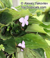 Kaempferia pulchra, Peacock Ginger, Resurrection Lily  Click to see full-size image