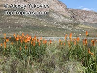 Kniphofia sp., Red Hot Poker, Torch Lily  Click to see full-size image
