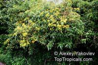 Lasianthaea fruticosa, Lasianthaea  Click to see full-size image