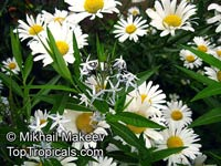 Leucanthemum vulgare - seeds  Click to see full-size image